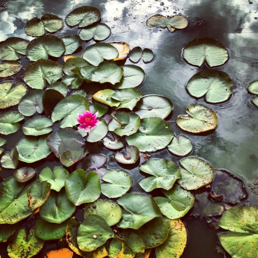 Lily pads at Hever Castle, Kent.