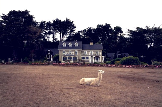 The Farmhouse at Glendeven Inn (and one of the llamas on the farm).
