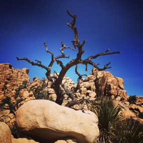 Tree, Joshua Tree National Park.