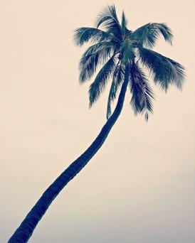 A palm tree at Pu`uhonua O Hōnaunau National Historical Park.