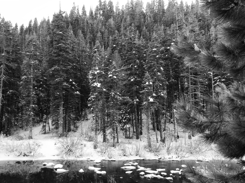 Snowy trees along the Truckee River