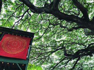 Tree in Koloa